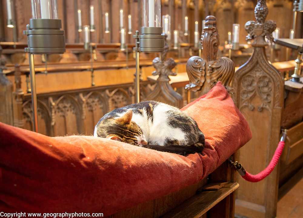 Fudge the cat asleep on cushion inside Norwich Cathedral, Norfolk, England, UK