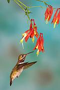Calliope Hummingbird, Stellula calliope Male flying Sunset New Mexico United States Birds animals wildlife birds hummingbird flight high speed photographic technique