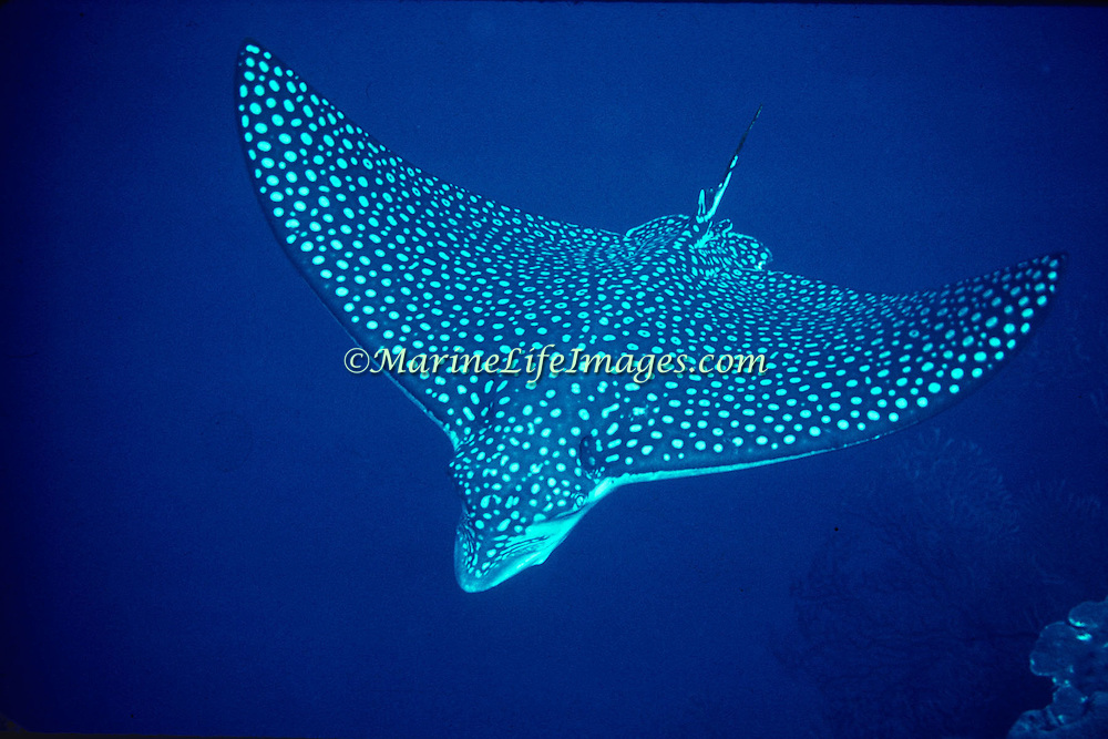 Spotted Eagle Ray inhabit the open water, stopping to feed in sand and rubble areas on mollusks in the Tropical West Atlantic; picture taken Grand Cayman.