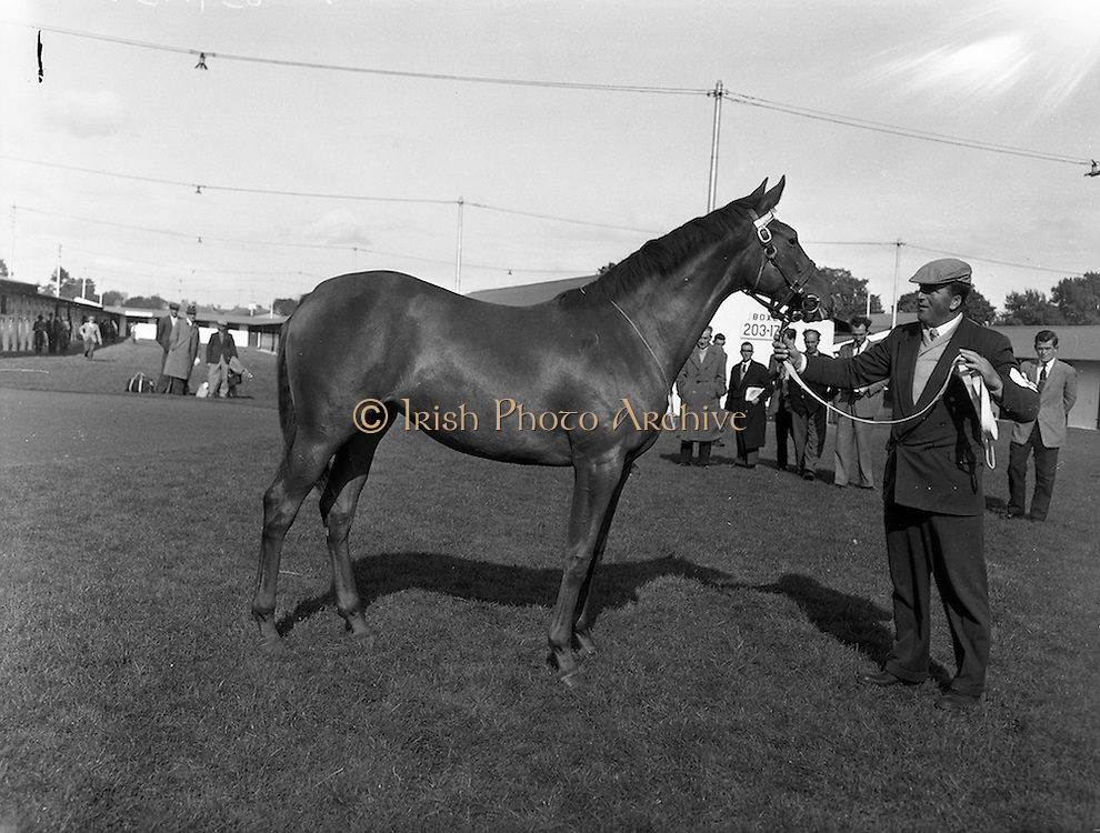 """19/09/1960<br /> 09/19/1960<br /> 19 September 1960<br /> Goffs September Bloodstock Sales at Ballsbridge, Dublin. The Ballsbridge September Yearling Sales opened in Dublin and attracted many international racing personalities. Picture shows the highest priced yearling of the day, a chestnut filly by """"Alycidon"""" out of """"June Ball"""", sent up by Mr. J.P. Frost of Limerick and purchased by Mr. Neil McCarthy of California for 6,200 Guineas"""