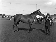 "19/09/1960<br /> 09/19/1960<br /> 19 September 1960<br /> Goffs September Bloodstock Sales at Ballsbridge, Dublin. The Ballsbridge September Yearling Sales opened in Dublin and attracted many international racing personalities. Picture shows the highest priced yearling of the day, a chestnut filly by ""Alycidon"" out of ""June Ball"", sent up by Mr. J.P. Frost of Limerick and purchased by Mr. Neil McCarthy of California for 6,200 Guineas"