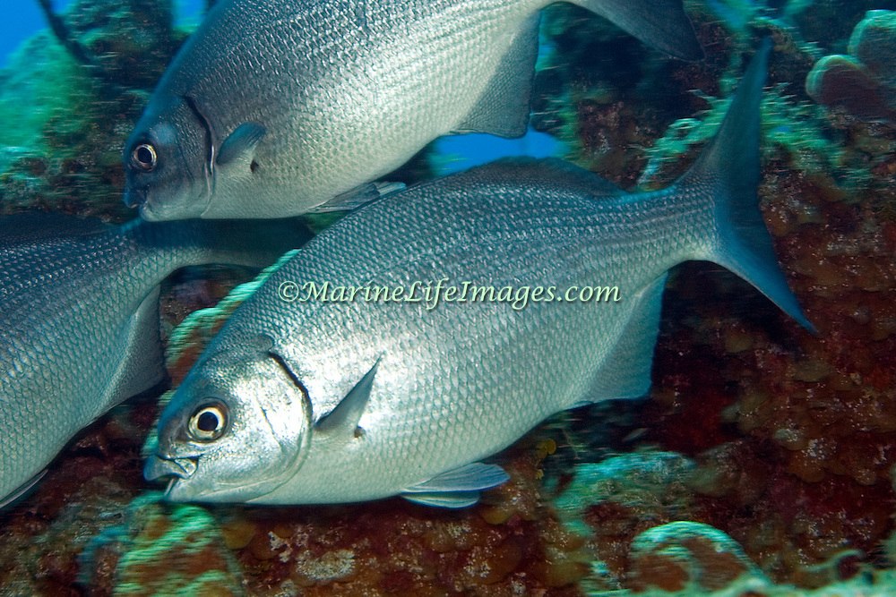 Bermuda-Gray Chub, visually cannot be reliably distinguished, inhabit reefs and adjacent areas in Tropical Atlantic, also circumtropical; picture taken Little Cayman.