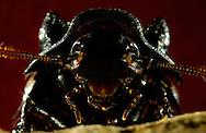 Deu, Deutschland: Porträt einer Madagaskar Fauchschabe (Elliptorhina spec.) | Deu, Germany: Portrait of a Madagascar hissing cockroach (Elliptorhina spec.) |