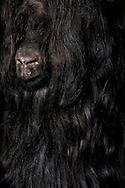 """Valais Blackneck (Capra aegagrus hircus), portrait. One of the oldest domestic goats of the world, rearing in canton of Valais and Switzerland. One of the most robust high mountain breeds. Conspicuous fur coloring, black forequarters and white hindquarters, with strong separating line. In principle the coat is long. Often the goats having long forehead hairs, which covering the eyes and also a beard. The long hairs protecting against cold and heat. Because of the attractive fur coloring and shaggy longhair the goats getting more and more enthusiasts in Germany. Bad Rippoldsau-Schapbach, Baden-Wuerttemberg, Germany.This picture is part of the series """"Creature's Coiffure""""..Walliser Schwarzhalsziege (Capra aegagrus hircus), Portrait. Sie ist eine der aeltesten Hausziegenrassen der Welt. Sie wird vor allem in Kanton Wallis und in der Schweiz gehalten. Es ist eine robuste Hochgebirgsrasse. Auffaellig ist die Faerbung ihres Felles. Die Walliser Schwarzhalsziege kennzeichnet sich vor allem dadurch, dass die vordere Koerperhaelfte schwarz und die hintere weiss behaart ist mit einer sehr scharfen Trennungslinie. Das Fell ist grundsaetzlich langhaarig. Sie besitzen oft lange Stirnhaare, die ihre Augen bedecken, sowie einen Bart. Die langen Haare schuetzen sie sowohl vor Kaelte als auch Hitze. Wegen ihrer attraktiven Fellfaerbung und dem zotteligen Langhaar findet sie auch immer mehr Liebhaber in Deutschland. Bad Rippoldsau-Schapbach, Baden-Württemberg, Deutschland.Dieses Bild ist Teil der Serie ,,Die Frisur der Kreatur"""""""