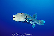 star puffer, starry pufferfish, or starry toadfish, Arothron stellatus, Helen Reef Atoll, Southwest Islands, Palau ( Belau ), Micronesia ( Western Pacific Ocean )