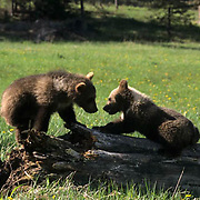 Grizzly Bear, (Ursus horribilis) Spring cubs playing in meadow. Summer. Montana. Captive Animal.