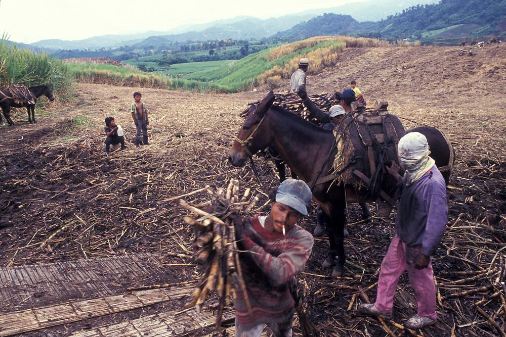 Harvesting sugar cane is tough and violent job, Caldas