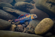 Orangethroat Darter<br /> <br /> Isaac Szabo/Engbretson Underwater Photo