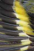 Closeup abstract image of the wing of a siskin that had probably died from a viral infection.