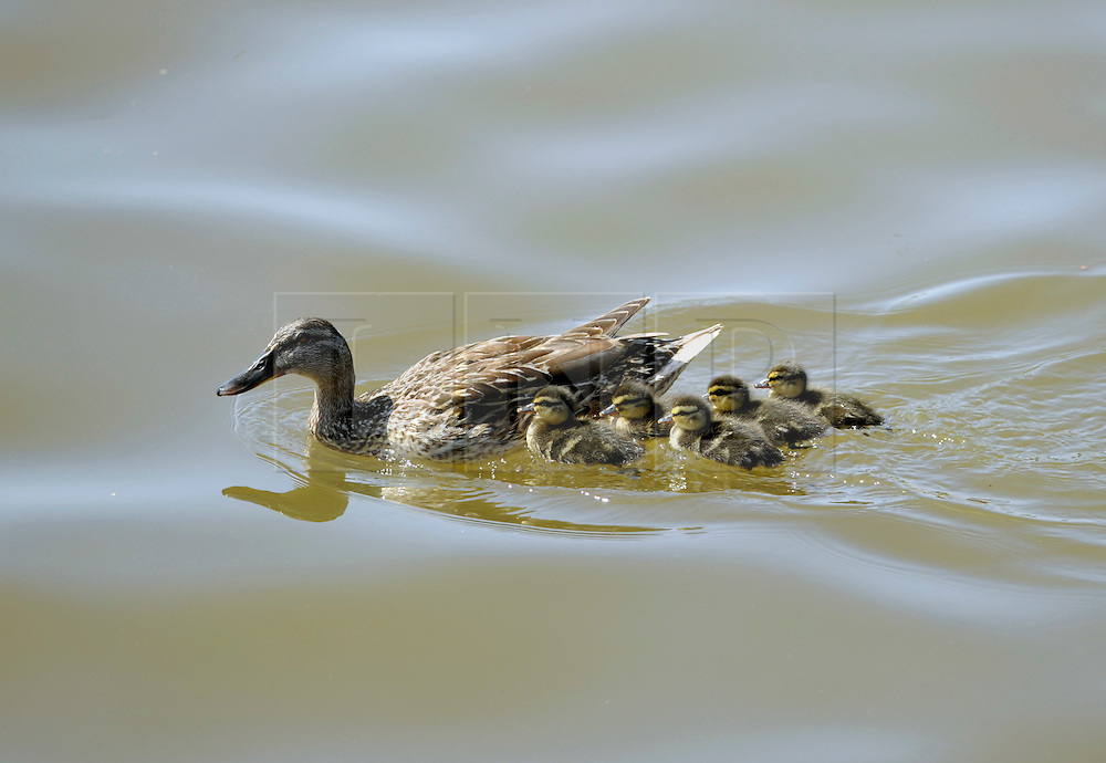 © Licensed to London News Pictures. 22/07/2012. Bristol, UK. Bristol Harbour Festival in Bristol docks.  A mother mallard duck with her chicks tries to find safety round the edge of the harbour.  22 July 2012..Photo credit : Simon Chapman/LNP
