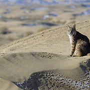 Bobcat (Lynx rufus) in the sand dunes of Little Sahara Recreation Area,  Utah.  Captive Animal.
