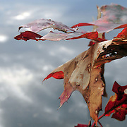 Red and brown Red oak leaves over water - fine art image. Kennebec River, Bath,  maine. © Roger S. Duncan, 2010.