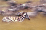 Image of plains zebras running at the Masai Mara National Reserve in Kenya, Africa by Randy Wells