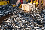 Fishermen sort a catch of mackerel at a dock in Kota Kinabalu, Sabah, Malaysia (August 2019)
