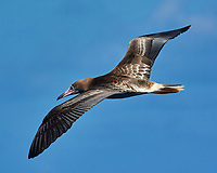 Brown Booby (dark belly). Viewed from the deck of the MV World Odyssey. Image taken with a Nikon 1 V3 camera and 70-300 mm VR lens (ISO 160, 267 mm, f/9, 1/1000 sec).