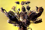 dried brown colored sunflowers still life against a yellow background