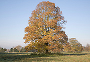 Small-leaved lime tree standing in field in autumn leaf, Sutton, Suffolk, England