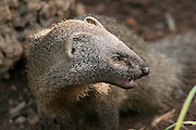 Egyptian Mongoose (Herpestes ichneumon), Israel March 2008