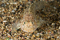 Sarato goby (Gobius fallax) Marine Reserve, Monaco, Mediterranean Sea<br /> Mission: Larvotto marine Reserve