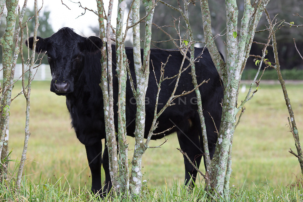 black cow peaking out from behind some small trees and brush on a ranch