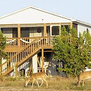 Key Deer (Odocoileus virginianus clavium) does grazing in a residential area in the Key Deer National Refuge of Florida.