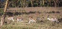 Thomson's Gazelle at Lake Nakuru, Kenya.