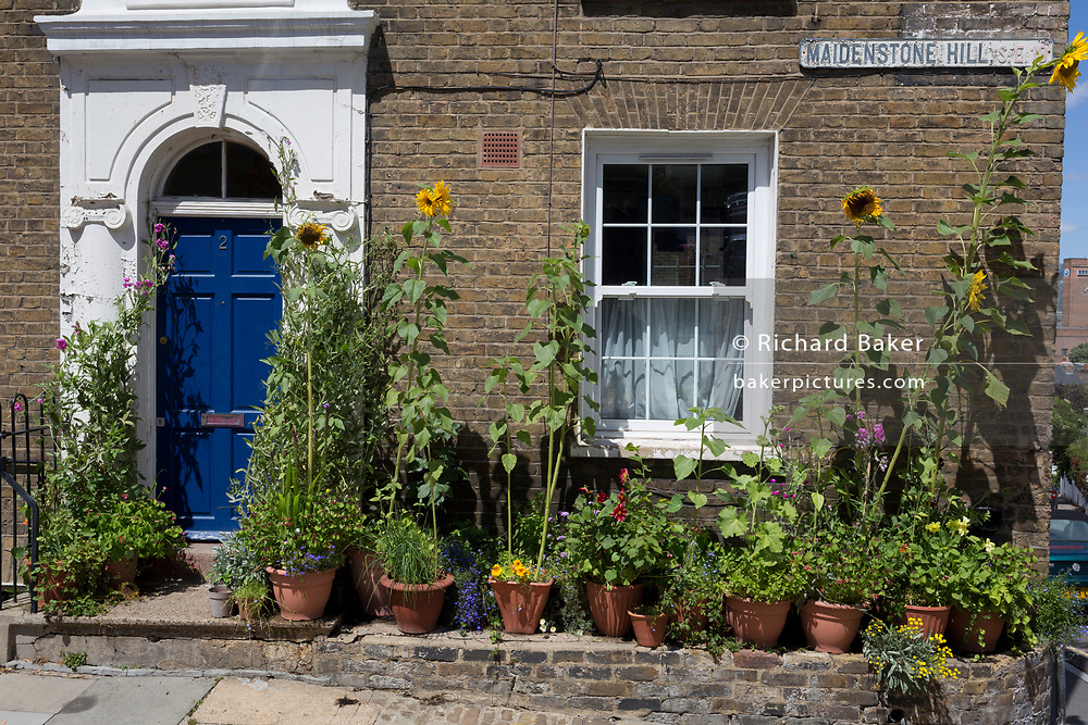 Sunflowers and other potted plants grow outside a Victorian-era cottage on Maidenstone Hill in Greenwich, on 6th July 2020, in London, England.