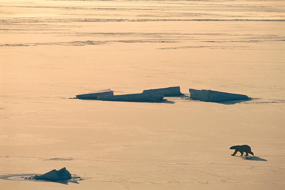 Polar Bear, Ursus maritimus, Svalbard, Spitsbergen, Norway