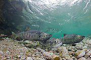 courtship of chum salmon, dog salmon, silverbrite salmon, or keta salmon, Oncorhynchus keta, in spawning stream, female in center, males on left and right (with gnarly teeth ), Sheep Bay, Alaska, USA ( Prince William Sound )