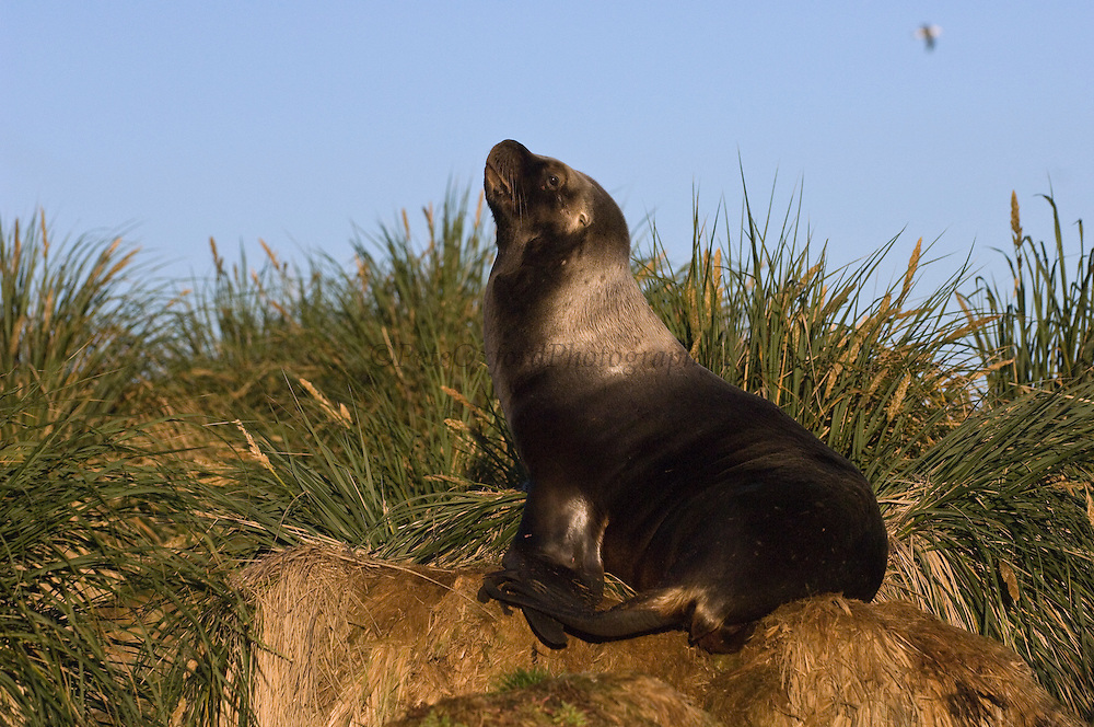 Southern Sea Lion (Otaria flavescens) Female<br /> Steeple Jason. FALKLAND ISLANDS.<br /> These sea lions are relatively large, stocky animals. The males are one of the most distinctive of all the sea lions. Dwarfing the females in size, they have an enormous head and neck, complete with an extensive mane.<br /> RANGE: Fairly widely distributed with about 60 breeding sites on the Falklands. Also Atlantic and Pacific coasts of South America from Peru south.<br /> They prefer tussock islands where they haul out during non-breeding season but breed on rocky beaches or slabs of broken rock. They feed mainly on octopus and squid with some Lobster Krill and fish. They usually feed in kelp beds and usually at night. They also prey on penguins as they come into shore - particularly Gentoo penguins and it has also been recorded that rogue bulls have come ashore and killed Elephant Seal pups and badly mauled weaners.<br /> <br /> The Jasons (Grand and Steeple) are a chain of islands 40 miles (64km) north and west off West Falkland towards Patagonia. Steeple is 6 by 1 mile (10Km by 1.6km) in size. From the coast the land rises steeply to a rocky ridge running along the length. <br /> This island has the largest Black-browed Albatross colony in the world with 113,000. The island is owned by WCS (Wildlife Conservation Society)