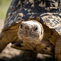 Stigmochelys pardalis (I hope), Botswana