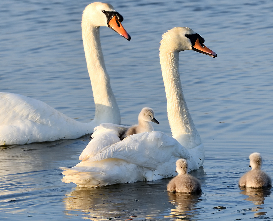A young mute swan (Cygnus olor) rides on its mothers back on the hottest day of the year while its more energetic siblings forage for food. Rye Harbour Nature Reserve, Sussex, UK.