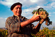 SPAIN, AGRICULTURE  (MR) grape harvest in vineyards near Fonzaleche, west of Logrono, in La Rioja, Spain's most famous wine producing area