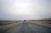 Israel, Negev Desert, Arabian camel (Camelus dromedarius) crosses the street