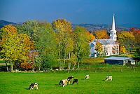 Cows in a field, Peacham, Vermont USA