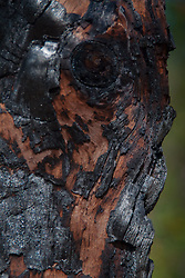 Burned Out Oak Log Face, Plaskett Ridge, Los Padres National Forest, Big Sur, California, US