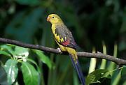 Regent parrot (Polytelis anthopeplus) portrait. Range: eucalyptus forests of southern Australia.