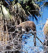 A captive coati (member of the raccoon family, Procyonidae) climbs a tree at the Sonoran Desert Museum, Tucson, Arizona, USA.