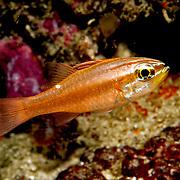 Mollucan Cardinalfish inhabit sheltered reefs. Picture taken Raja Ampat, Indonesia.