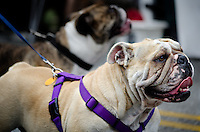 A pair of English Bulldogs attending the Woodstown Fall Festival, Sept. 2011.