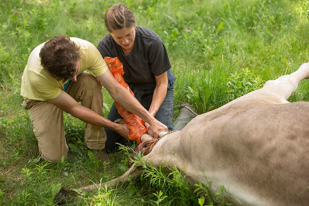 Farmers assisting a Brown Swiss Cow in labor