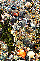 Live scallops lie on the beach at Red RIver Beach in Harwich Tuesday. The scallops washed ashore due to recent storms. 12/19/00
