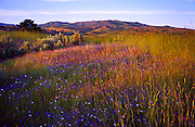 Idaho; Boise; Boise Foothills; spring wildflowers in