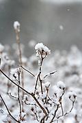 Wildflower seedheads in snowstorm.