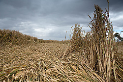 Food prices look set to rise after poor harvests due to wet weather. The National Farmers Union warned that wheat yields were down by almost 15% on the five-year average, with productivity down at 1980s levels, Lincolnshire, UK, August 11, 2012. Photo by Tim Scrivener / i-Images.