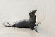 Galapagos Sea Lion (Zalophus wollebaeki)  on Beach<br /> Santa Fe<br /> GALAPAGOS<br /> Ecuador, South America<br /> Endemic