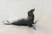 Galapagos Sea Lion (Zalophus wollebaeki)  on Beach<br /> Santa Fe<br /> GALAPAGOS<br /> Ecuador, South America<br /> Endemic