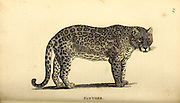 Panther from General zoology, or, Systematic natural history Part I, by Shaw, George, 1751-1813; Stephens, James Francis, 1792-1853; Heath, Charles, 1785-1848, engraver; Griffith, Mrs., engraver; Chappelow. Copperplate Printed in London in 1800. Probably the artists never saw a live specimen