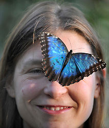 © London News Pictures. 2011/01/18 .Lara Smith (35) smiles at the camera as a Blue Morpho Butterfly lands on her head. The 'Butterflies in the Glasshouse' exhibit opens at RHS Wisley, Woking, Surrey today (Tues). 100's of tropical butterflies have been released amongst the tropical plants and flowers.   . Picture credit should read Stephen Simpson/LNP