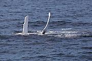 Humpback whale engaging in pectoral fin slapping in Stellwagen Bank National Marine Sanctuary, near Boston, Massachusetts.